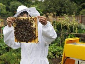 Бджоли в вересні