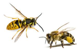 Як відрізнити осу від бджоли