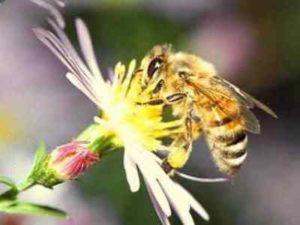 Чому бджоли комахи?