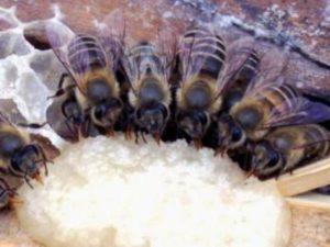 Рецепт приготування канді для бджіл в домашніх умовах