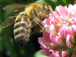 Властивості конюшинового меду