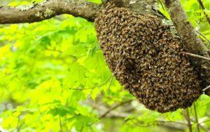 Роїння бджіл - добре чи погано?