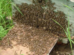 Методи попередження роїння бджіл