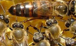 Размноження бджіл