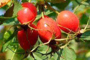 Ягоди шипшини
