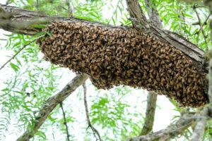 Період роїння бджіл