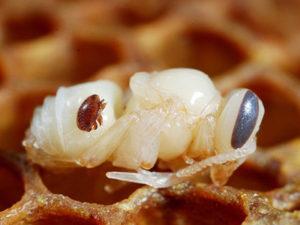 Лікування бджіл від кліща варроа