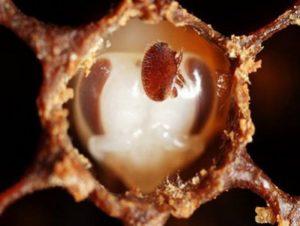 Варроатоз у бджіл