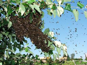 Як піймати бджолиний рій