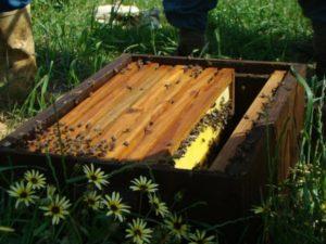 Коли можна зробити відводок бджіл