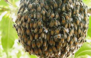 роїння бджіл