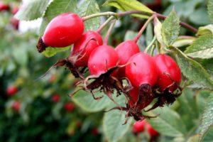 плоди шипшини користь