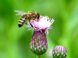 бджола на будяку