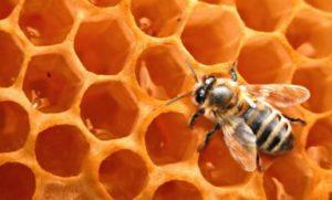 бджола-трутівка
