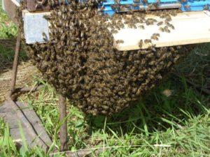 Зазвичай ловля бджіл починається з 15 травня