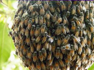 Як приманити і зловити бджіл