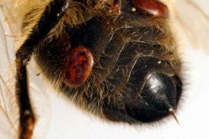 кліщ varroa jacobsoni