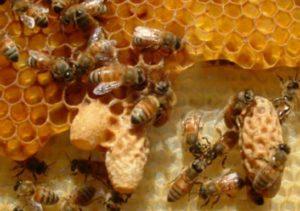 маточники бджіл