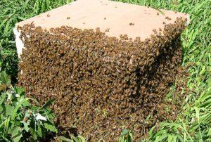 коли рояться бджоли