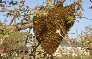 бджільництво роїння