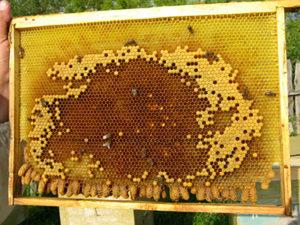Як правильно зробити відводок бджіл