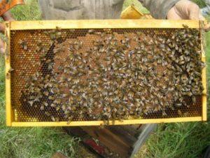 Метод догляду за бджолами в медозбір