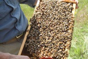 метод розведення бджіл