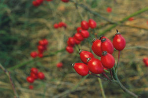 Користь плодів шипшини