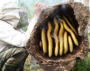 Колодне бджільництво для початківців: відео