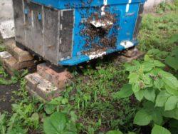Як зловити бджіл в пустий вулик