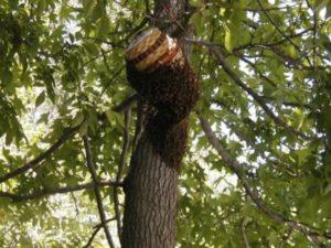 Як зловити бджіл в пастку