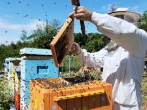 Як підсадити матку в бджолосім'ю