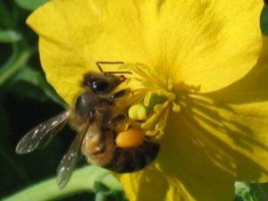 Чистотіл для лікування бджіл