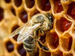 Чому бджоли не запечатують мед