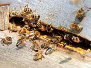 Чому бджоли злітають