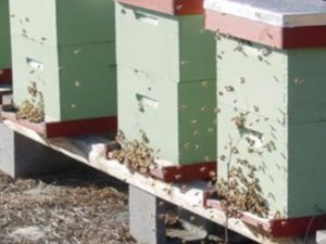Чому злітають бджоли