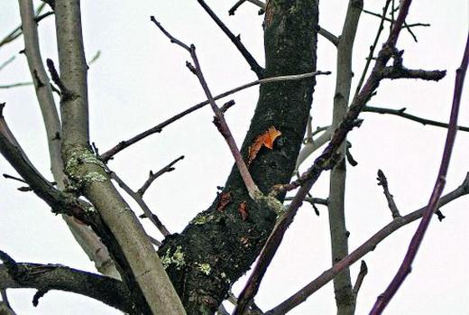 Чорний рак на яблуні фото