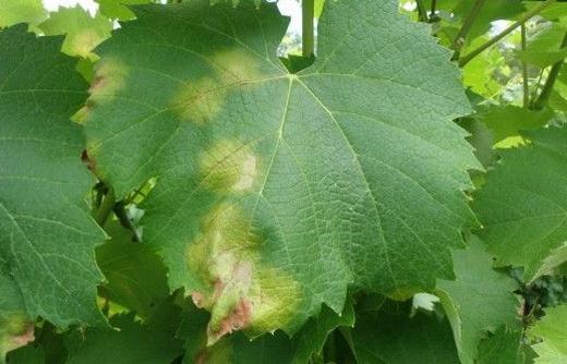 Фото: Вид листя при хворобі винограду - ложномучниста роса