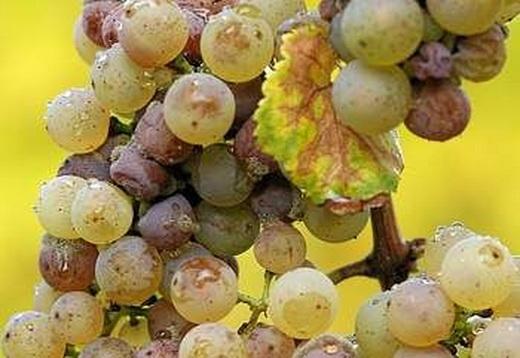 Фото: Вид ягід при хворобі винограду - антракноз