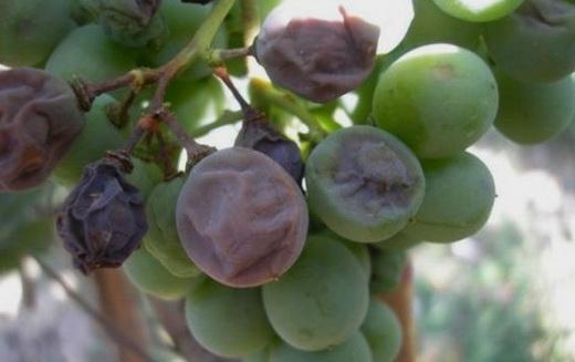 Фото: Вид ягід винограду уражених хворобою - сіра гниль