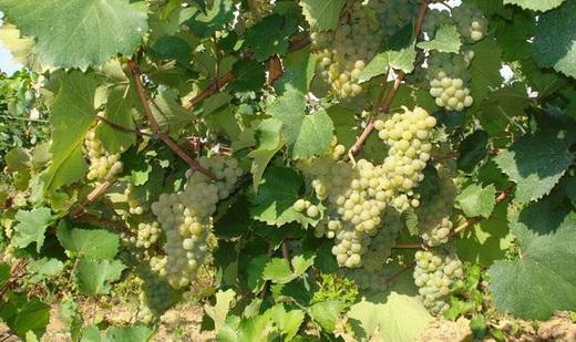 Фото: Виноград сорту Аліготе