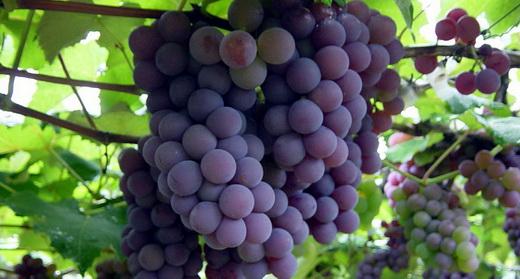 Фото: Виноград сорту Алікант Буше