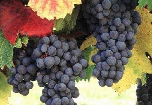 Фото: Виноград сорту Ізабелла