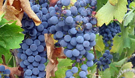 Фото: Виноград сорту Каберне Совіньон