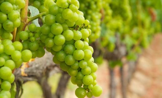 Фото: Виноград сорту Шардоне