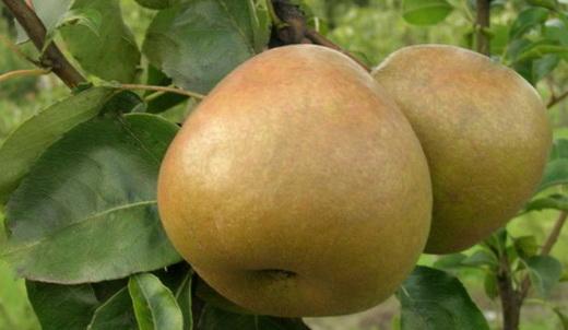 Сорт груші Берегомет осінній фото