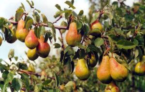 Посадка і догляд за грушою