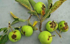 Хвороби і шкідники яблунь: боротьба
