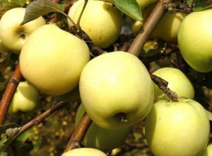 Яблука Антонівка