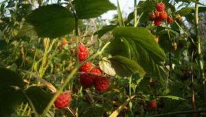 Опис кращих сортів малини